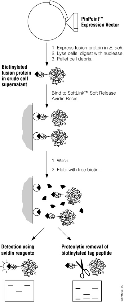 Schematic diagram of recombinant protein expression and purification using the PinPoint™ Xa Protein Purification System.