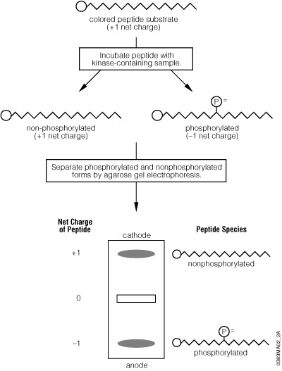 Schematic diagram of the PepTag® Non-Radioactive Protein Kinase Assay procedure.