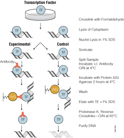 Overview of chromatin immunoprecipitation using antibodies.