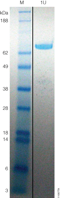 Coomassie-stained gel of HaloTEV Protease showing 1 unit (U) of protein with the specific activity of 1 unit/µg.