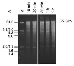 Analysis of in vitro transcripts by agarose gel electrophoresis.