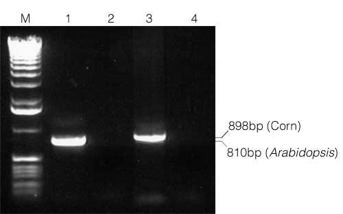 PCR of genomic DNA following isolation from Arabidopsis and corn.